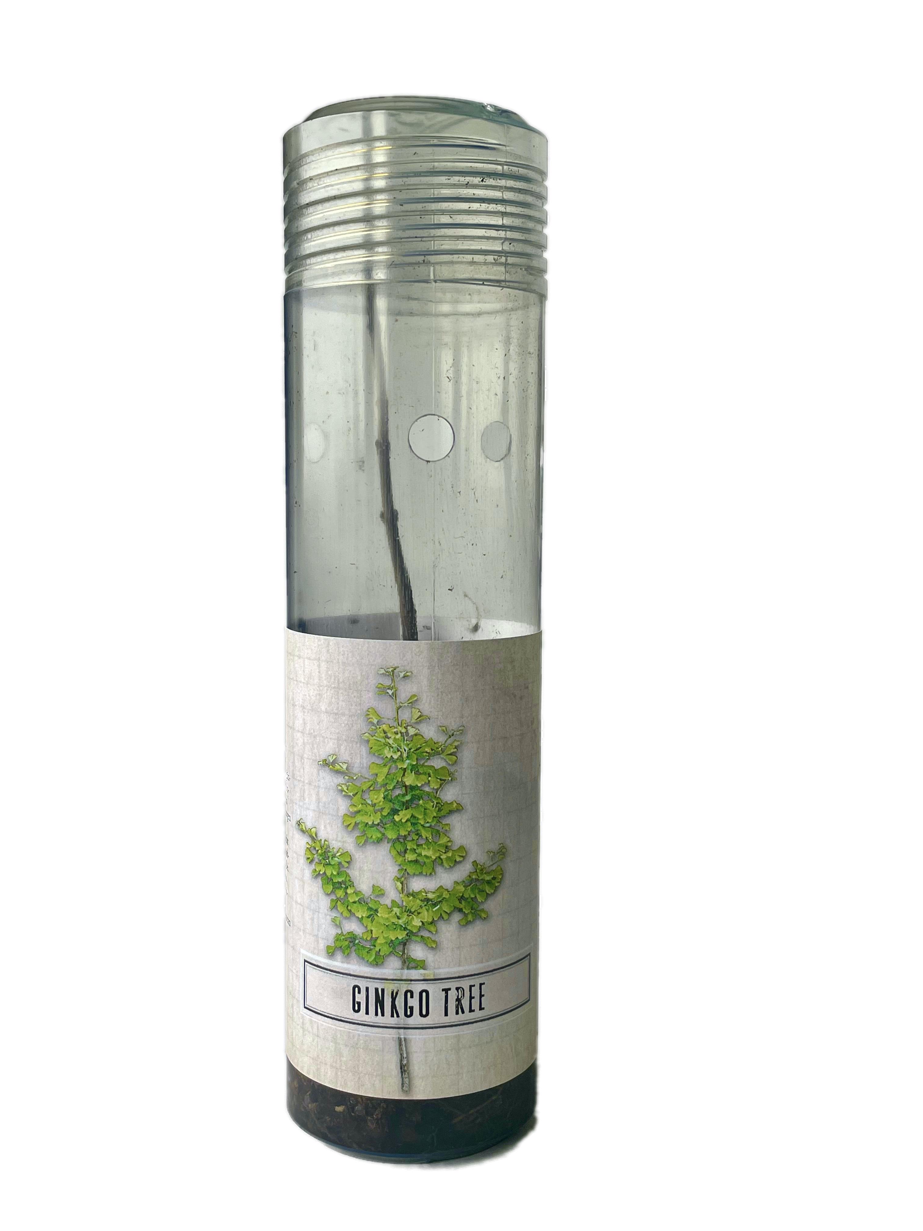Ginkgo Tree: