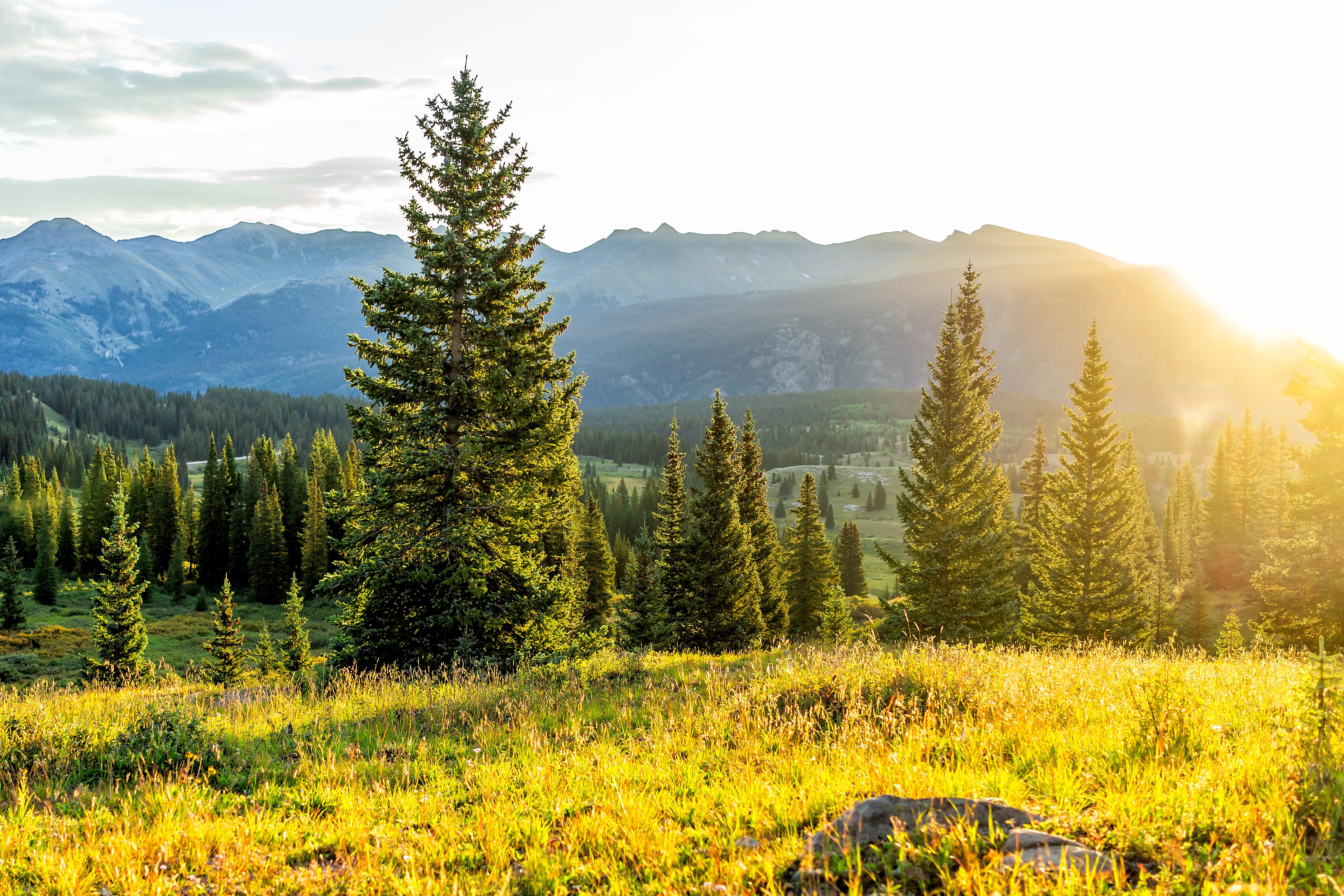 Rocky Mountain  Fir: