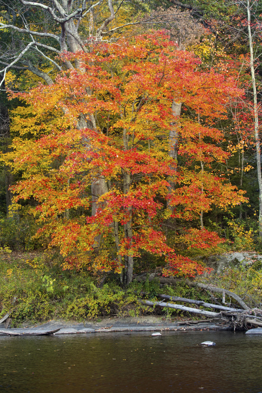 American Maple