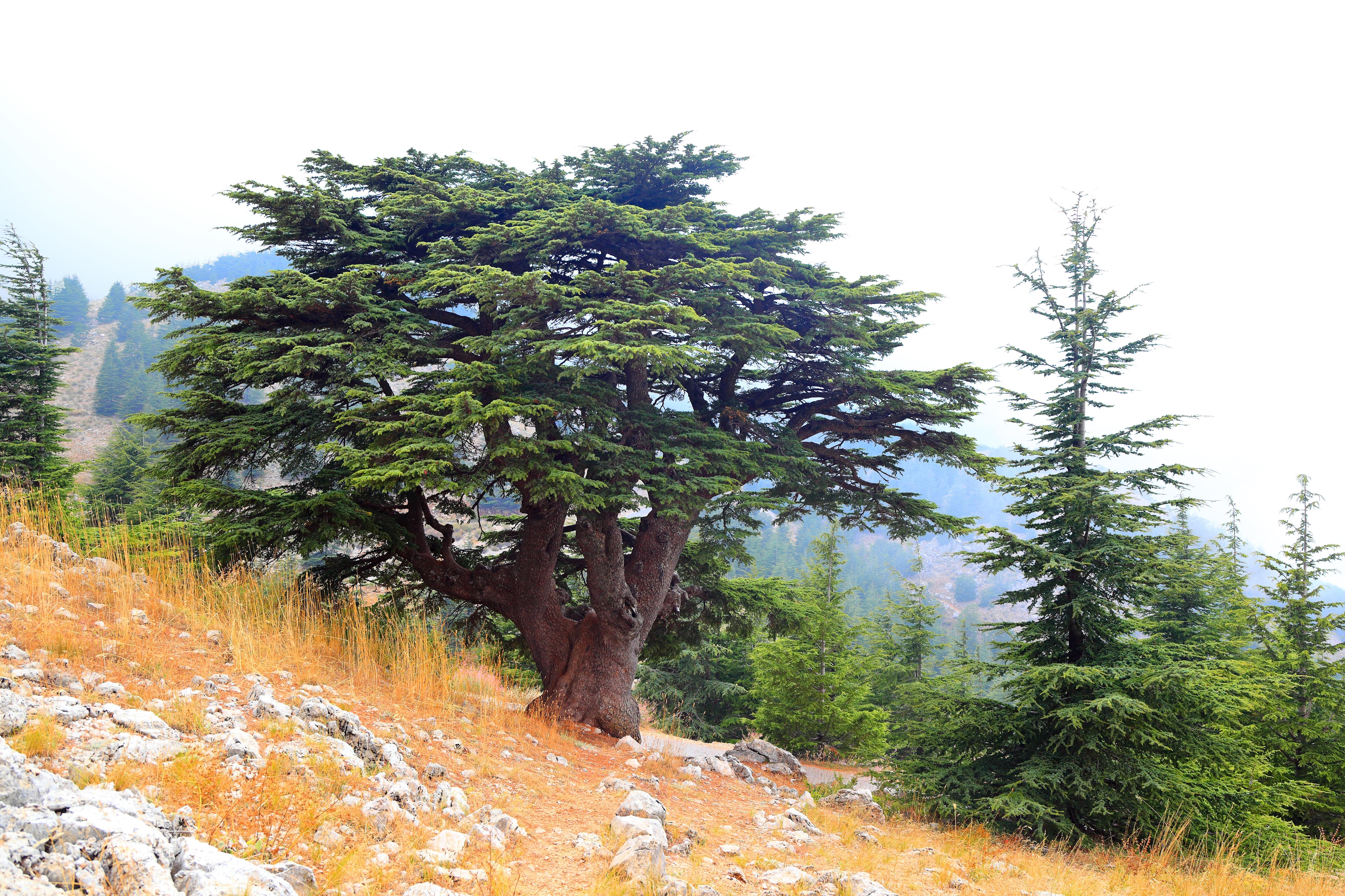 Libanon Zeder: