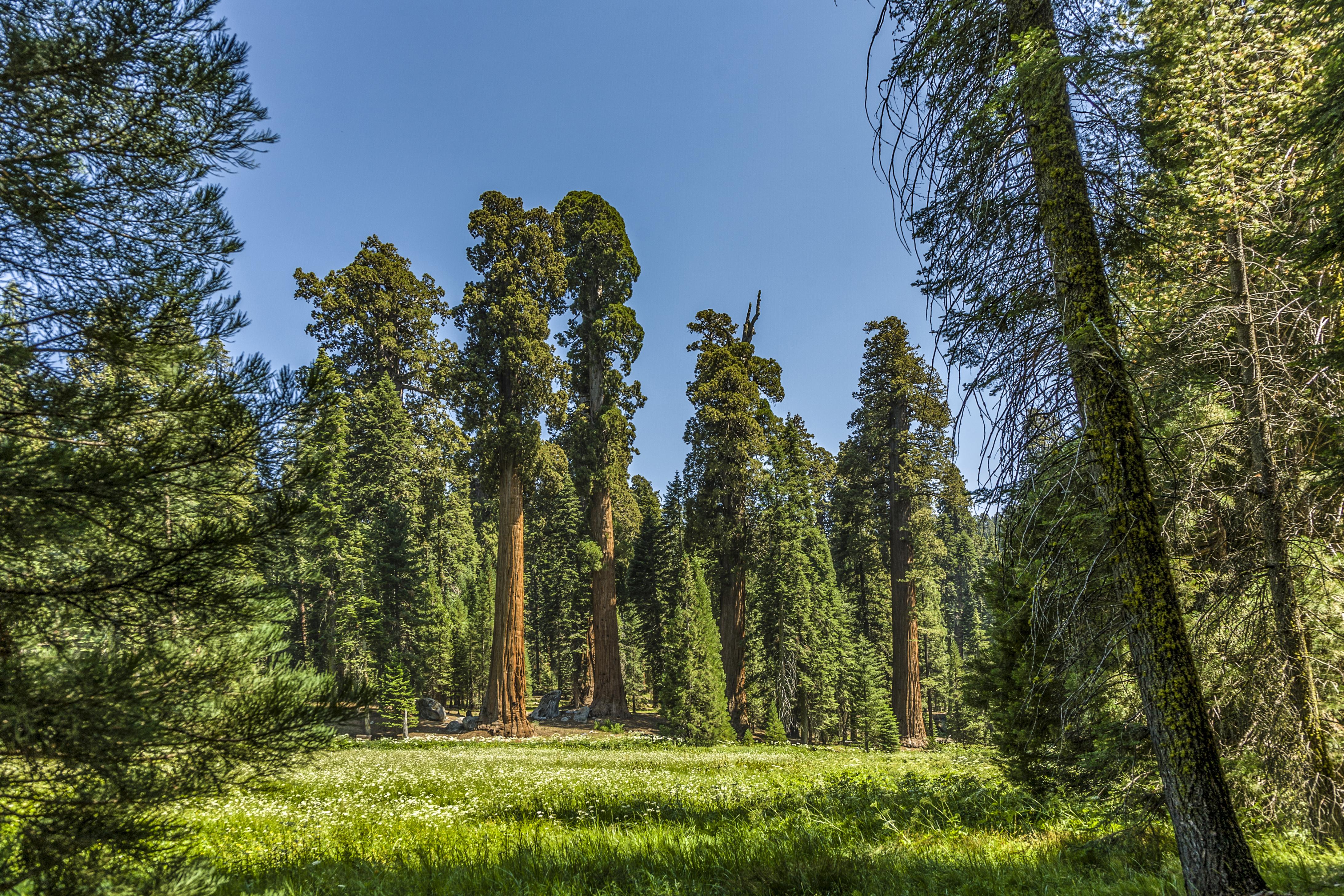 Giant Redwood Sequoia